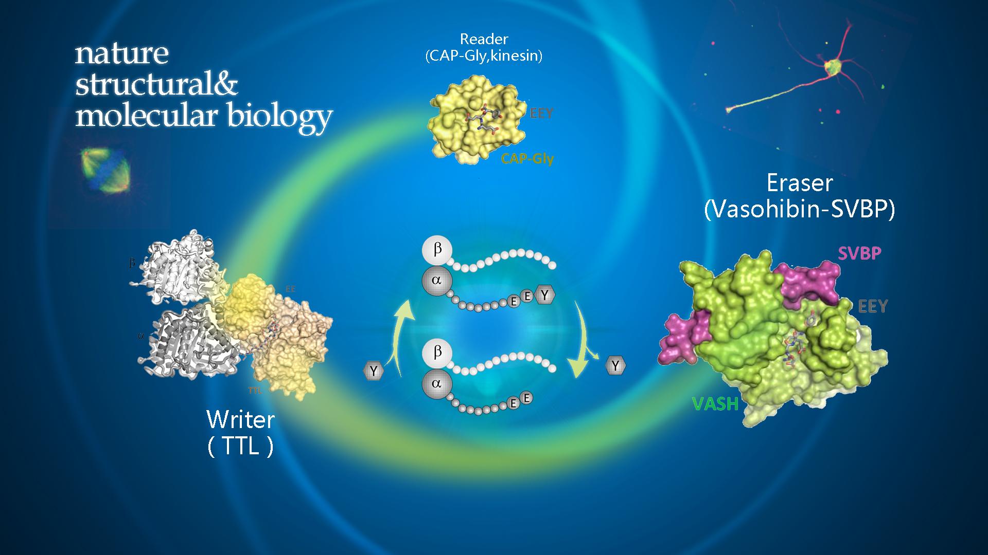 南科大生物系黄鸿达课题组发表VASH2-SVBP进行微管去酪氨酸化分子机制研究成果